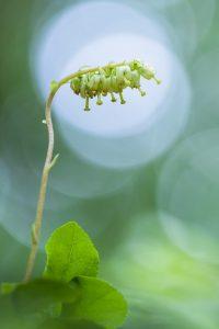 Nickendes Wintergrün
